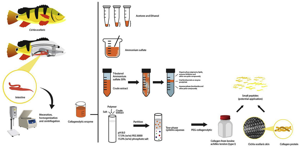 Separation and partial purification of collagenolytic protease from peacock bass (Cichla ocellaris) using different protocol: Precipitation and partitioning approaches